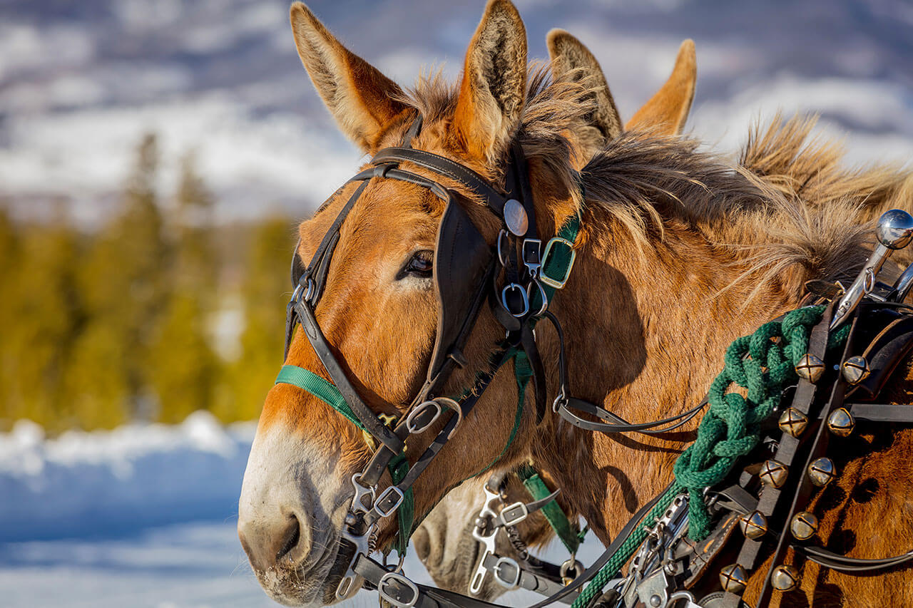 Close up of face and neck of brown mule at Two Below Zero Sleigh Rides